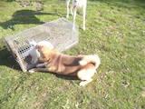 Собаки, щенята Російсько-Європейська лайка, ціна 800 Грн., Фото
