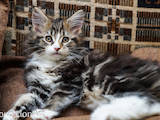Кошки, котята Мэйн-кун, цена 5500 Грн., Фото