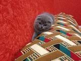 Кішки, кошенята Британська короткошерста, ціна 1500 Грн., Фото