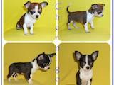 Собаки, щенята Чихуа-хуа, ціна 3700 Грн., Фото