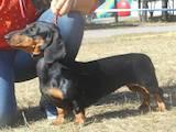Собаки, щенки Гладкошерстная такса, цена 6000 Грн., Фото