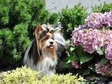 Собаки, щенята Йоркширський тер'єр, ціна 25000 Грн., Фото