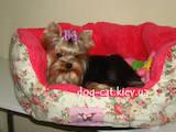 Собаки, щенки Йоркширский терьер, цена 18000 Грн., Фото