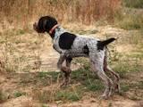 Собаки, щенки Немецкая жесткошерстная легавая, цена 2700 Грн., Фото