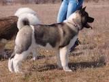 Собаки, щенки Американский акита, цена 24000 Грн., Фото