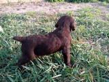 Собаки, щенята Німецька жорсткошерста лягава, ціна 2000 Грн., Фото