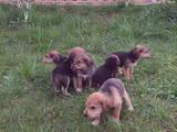 Собаки, щенки Западно-Сибирская лайка, цена 1370 Грн., Фото