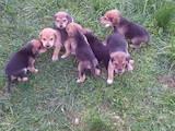 Собаки, щенята Західно-Сибірська лайка, ціна 1370 Грн., Фото