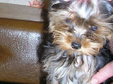 Собаки, щенки Йоркширский терьер, цена 10600 Грн., Фото