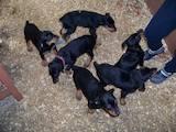 Собаки, щенки Доберман, цена 3500 Грн., Фото