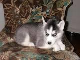 Собаки, щенки Сибирский хаски, цена 250 Грн., Фото
