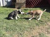 Собаки, щенята Сибірський хаськи, ціна 250 Грн., Фото