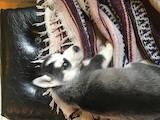 Собаки, щенки Сибирский хаски, цена 2500 Грн., Фото
