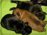 Собаки, щенята Французький бульдог, ціна 9450 Грн., Фото