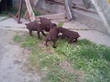 Собаки, щенки Немецкая жесткошерстная легавая, цена 1800 Грн., Фото