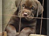 Собаки, щенята Лабрадор ретрівер, ціна 8500 Грн., Фото