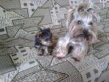 Собаки, щенята Йоркширський тер'єр, ціна 8000 Грн., Фото