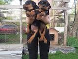 Собаки, щенята Ротвейлер, ціна 2800 Грн., Фото