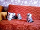 Кішки, кошенята Шотландська короткошерста, ціна 2500 Грн., Фото