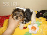 Собаки, щенки Йоркширский терьер, цена 28000 Грн., Фото