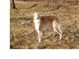 Собаки, щенята Російський хорт, ціна 4000 Грн., Фото