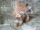 Собаки, щенки Йоркширский терьер, цена 6500 Грн., Фото