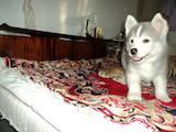 Собаки, щенки Американский акита, цена 3000 Грн., Фото