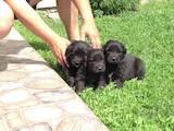 Собаки, щенки Ньюфаундленд, цена 5300 Грн., Фото