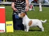 Собаки, щенята Джек Рассел тер'єр, ціна 11000 Грн., Фото