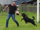 Собаки, щенята Ротвейлер, ціна 10000 Грн., Фото
