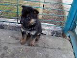 Собаки, щенята Східно-Європейська вівчарка, ціна 2500 Грн., Фото