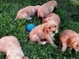 Собаки, щенята Англійський коккер, ціна 750 Грн., Фото