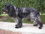 Собаки, щенки Русский спаниель, цена 5250 Грн., Фото