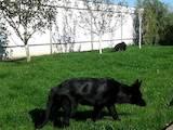 Собаки, щенки Немецкая овчарка, Фото