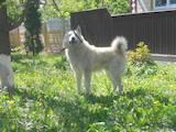 Собаки, щенята Західно-Сибірська лайка, ціна 4000 Грн., Фото