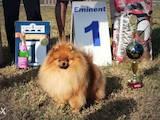 Собаки, щенята Померанський шпіц, ціна 25000 Грн., Фото
