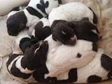 Собаки, щенки Немецкая жесткошерстная легавая, цена 8200 Грн., Фото