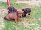 Собаки, щенки Гладкошерстная такса, цена 2000 Грн., Фото