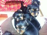 Собаки, щенки Йоркширский терьер, цена 3500 Грн., Фото