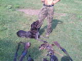 Собаки, щенки Немецкая жесткошерстная легавая, цена 2000 Грн., Фото