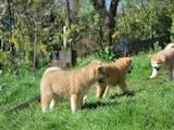 Собаки, щенята Акіта-іну, ціна 21000 Грн., Фото