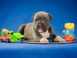 Собаки, щенята Американський стаффордширський тер'єр, ціна 17000 Грн., Фото