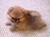 Собаки, щенята Померанський шпіц, ціна 20000 Грн., Фото