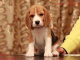 Собаки, щенки Бигль, цена 13250 Грн., Фото