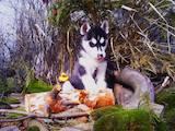 Собаки, щенята Сибірський хаськи, ціна 41000 Грн., Фото
