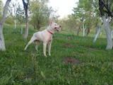 Собаки, щенки Западно-Сибирская лайка, цена 1800 Грн., Фото
