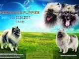 Собаки, щенята Малий шпіц, ціна 10000 Грн., Фото