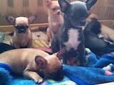 Собаки, щенята Чихуа-хуа, ціна 7000 Грн., Фото