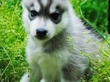 Собаки, щенята Сибірський хаськи, ціна 3500 Грн., Фото