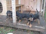 Собаки, щенята Ягдтер'єр, ціна 5500 Грн., Фото